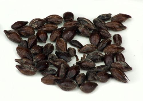 Muntons Black: Patent Malt 1lb (1)