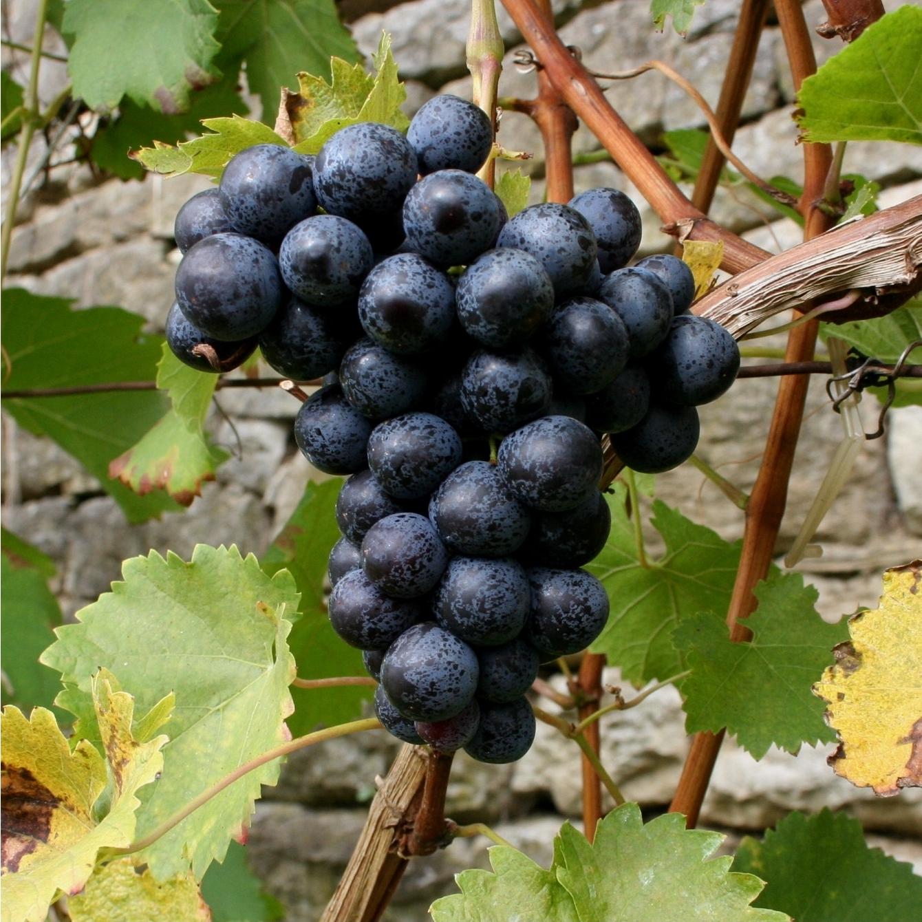 DEPOSIT - W.S.:Grenac Grape 1/4 ton (1)