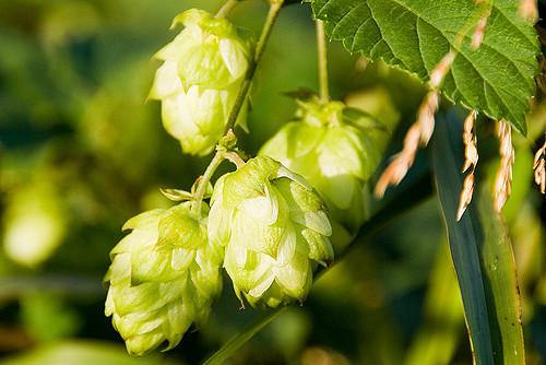 Cashmere Whole Hops (7.7-9.1%AA), 1 lb -0